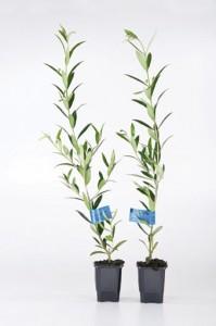 Plantas de Olivo diferentes variedades
